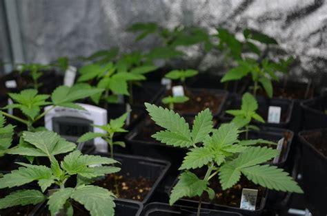 marijuana seeds for indoor growing alchimia