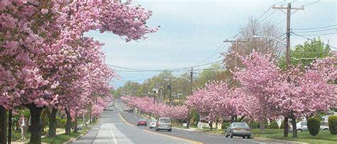 6 cherry tree cherry hill nj cherry blossoms in cherry hill nj