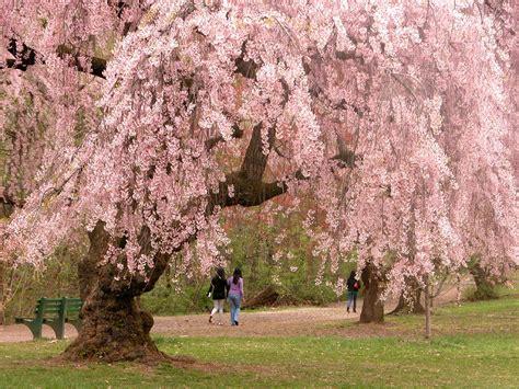 cherry blossom season in nj the montclair dispatch