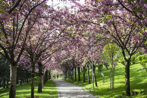 cherry tree vs cherry blossom tree file tree blossom turkey ankara dikmen v 226 disi 2015 jpg