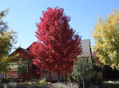 maple tree colorado fast growing shade trees thetreefarm