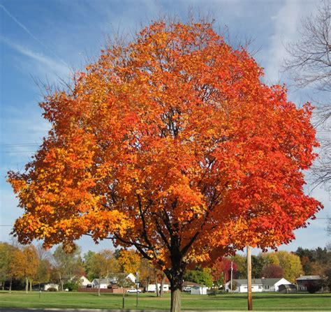 maple tree in fall acer saccharum sugar maple tree in fall colors country flickr