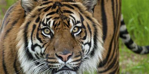 of tiger adopt a sumatran tiger smithsonian s national zoo