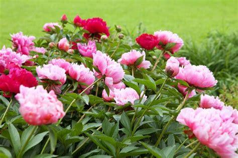 peonies in season extend the blooming season of your peonies