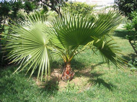 palmier nain chamaerops humilis plantation taille entretien