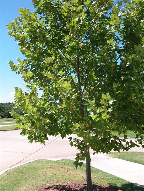 tree pic sycamore tree photos pictures images facts on platanus