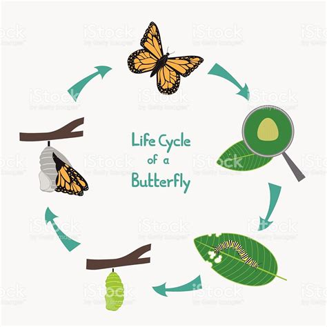 of a butterfly cycle of a butterfly diagram stock vector