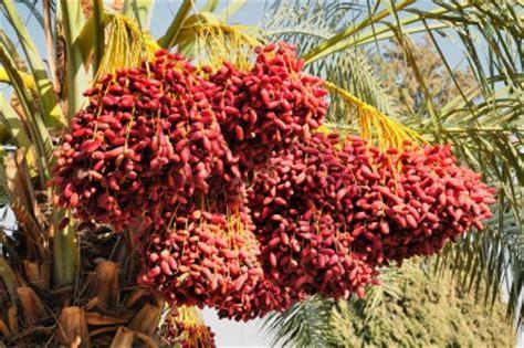 national tree dates palm tree locations
