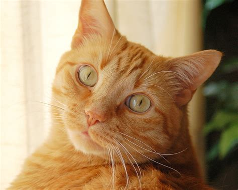 orange cat orange cat free beautiful wallpaper for your