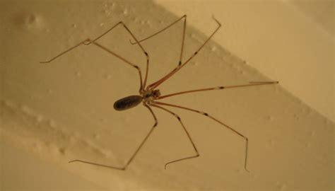 arachnides araignees une araign 233 e de maison pholcus phalangioides sfo soci 233 t 233 fran 231 aise d