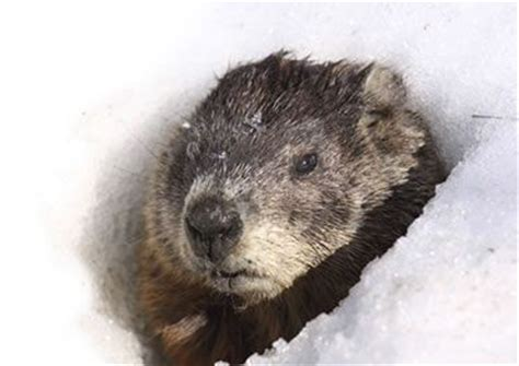 groundhog day information facts about groundhogs groundhog facts havahart 174