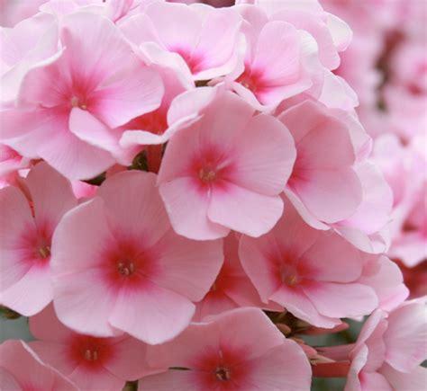 light flowers alexandrite light pink flower guide