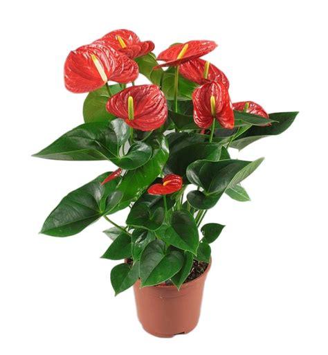 anthurium red winner florastore