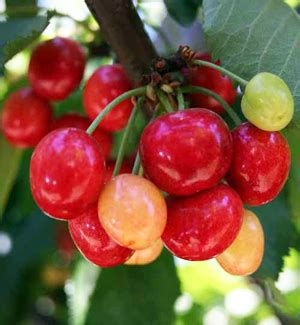 cherry tree zone 9b coral chagne cherry buy a cherry tree willis orchards
