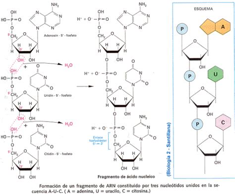 unir cadenas en c modelo de la cadena de adn de watson y crick