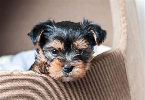 yorkshire terrier sale yorkshire terrier yorkie puppies for sale akc puppyfinder