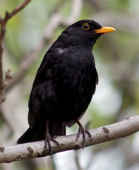 black bird bird quizzes thrushes