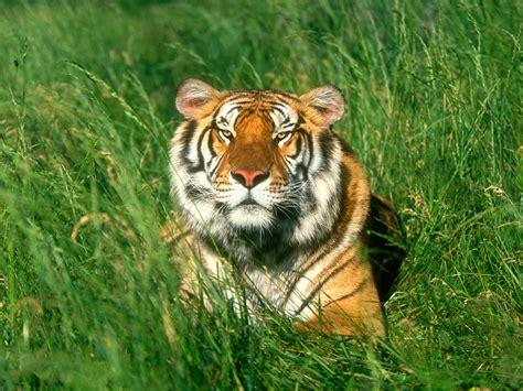 of tiger reses high definition tiger desktop wallpapers