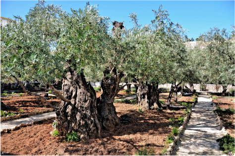 Der Garten by Der Garten Gethsemane In Jerusalem Foto Bild