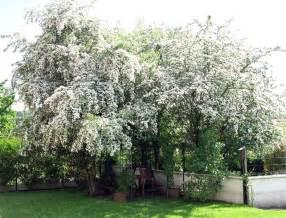 hawthorne tree hawthorn tree statue tree