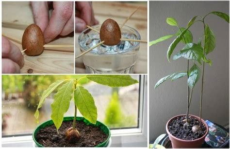 wonderful growing a potato vine plant