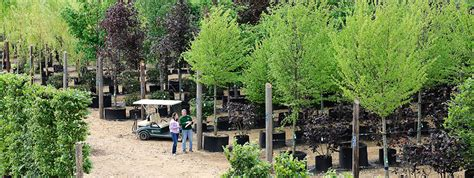 small trees for sale majesticgroup co uk