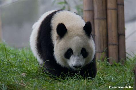 panda china celp projects pandas and climate change