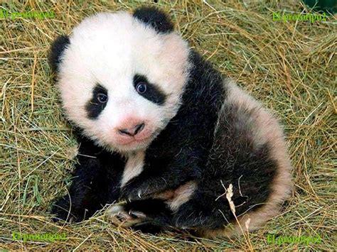 one panda panda algoritmo buscador de