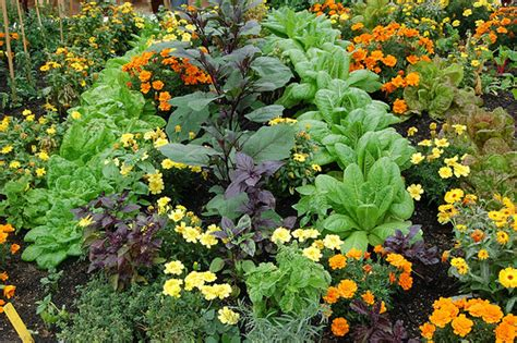 companion flowers for vegetable garden growing hermione s garden companion planting almost