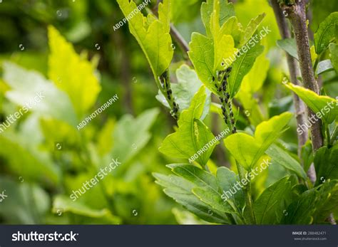 tree aphid infestation aphid infestation stock photo 288482471