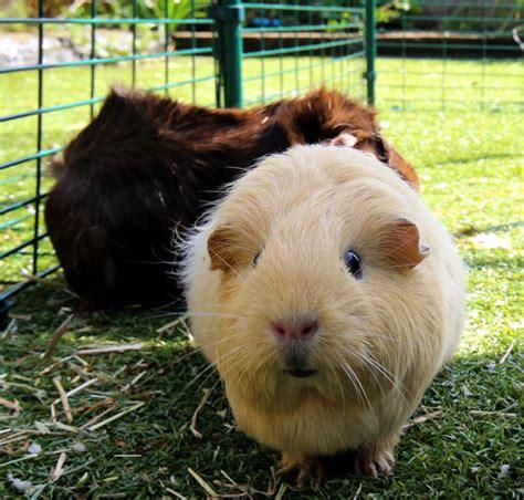 grand enclos pour cochons d inde cochons d inde omlet