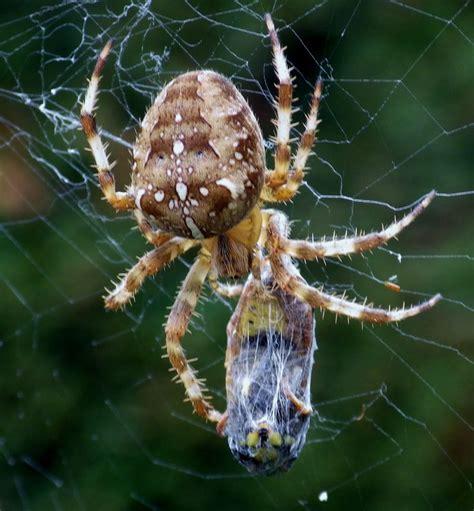 Garden Spider Prey Garden Spider With It S Prey Maman
