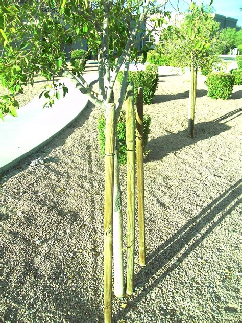 stake trees how to stake a tree like a pro gardening on mars
