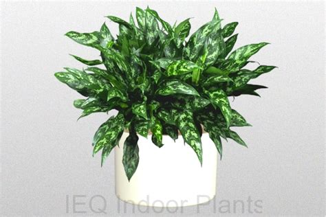 best plant for indoor low light best indoor plants brisbane zanzibar gem low light plants