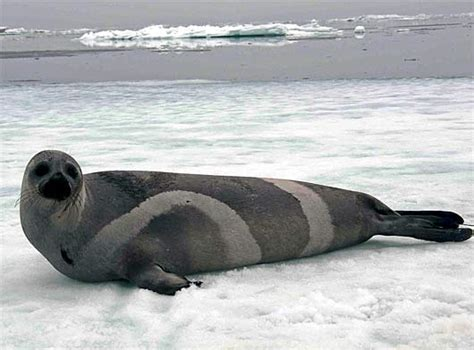 seal ribbon ribbon seal chocolate and colored arctic mammal
