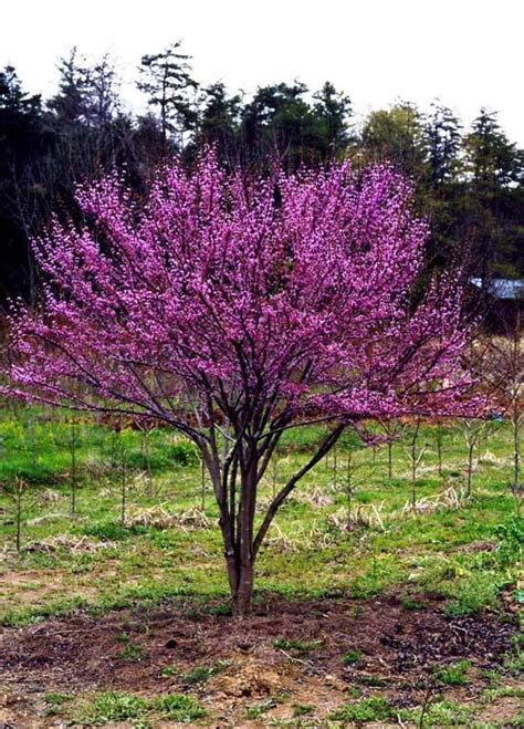small flowering trees for small gardens best trees to plant flowering trees for small shaded
