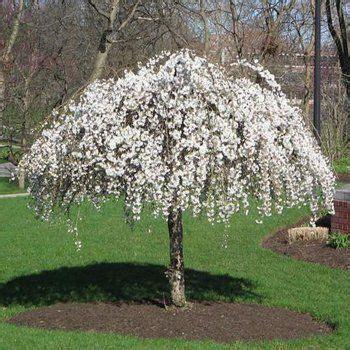 small flowering trees for small gardens 25 best ideas about small trees on small