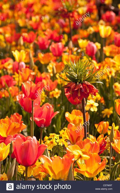 netherlands flower garden the netherlands lisse keukenhof flower garden mainly tulip