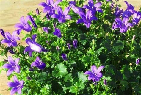 pflanze immergrün winterhart blühend canula poscharskyana h 228 ngepolster glockenblume
