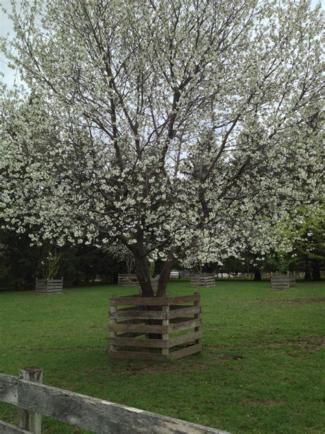 montmorency cherry tree www pixshark images galleries with a bite