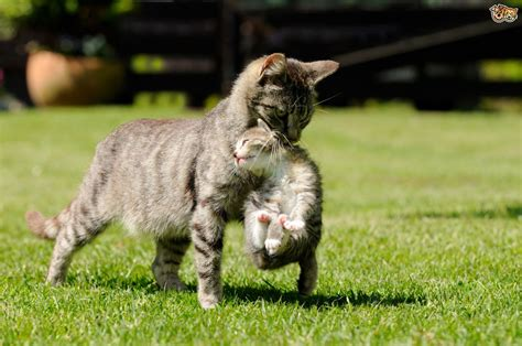 how to do a cat scruffing a cat when and how pets4homes