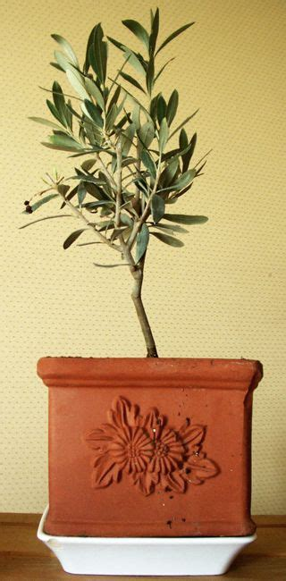 les 25 meilleures id 233 es de la cat 233 gorie arbre olivier sur planter un olivier