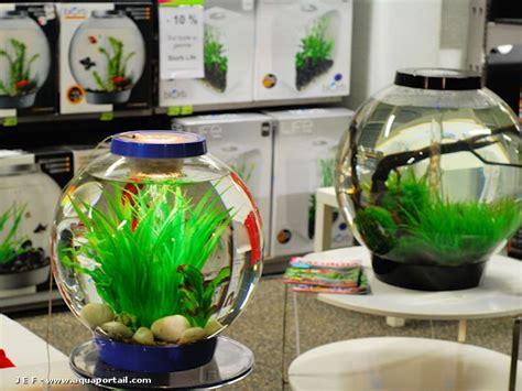 photos poissons combattants du betta club de poissons tropicaux