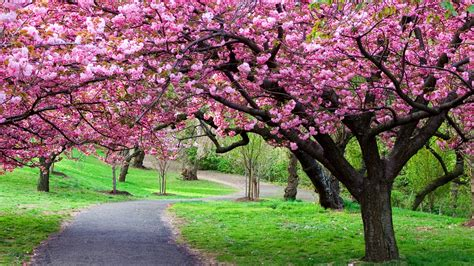 cherry blossom tree care cherry tree tree care and gardens
