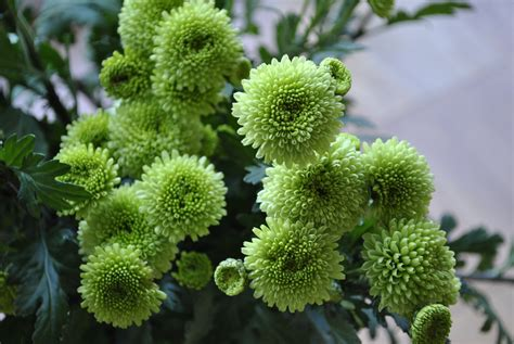 green garden flowers chrysanthemum david s garden diary