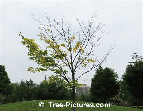 maple tree problems maple tree pictures images photos facts on maples trees