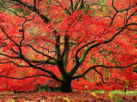 maple tree in fall maple treeserviceofnashville