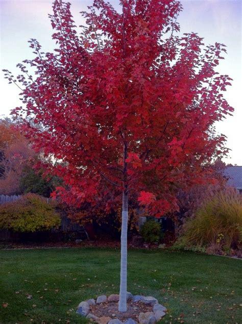 maple tree clay soil 235 best gardening trees shrubs images on garden trees shrubs and garden ideas