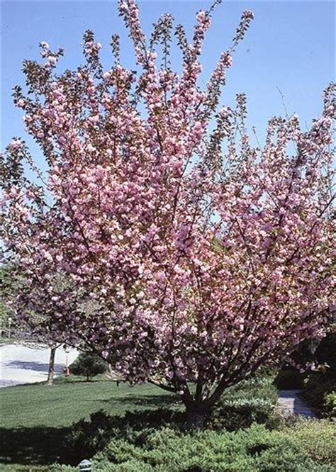 17 best images about trees on trees shrubs and dogwood trees