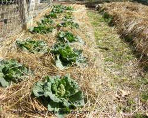 straw mulch vegetable garden using straw mulch in the vegetable garden